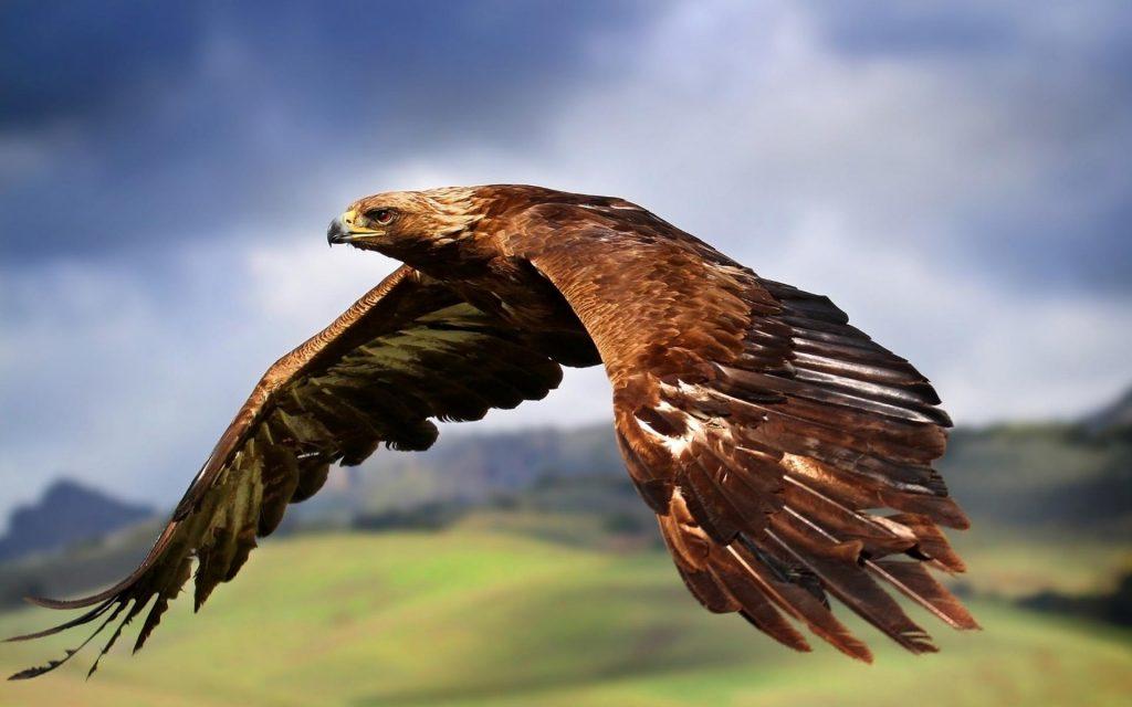Imagini pentru Vulturul Auriu